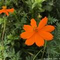 写真: 蝶々とまった夏の秋桜~iPhoneで~orange summer