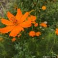 雨上がり、初秋の秋桜、濡れる愛~iPhoneで~sing a Cosmos, Ameagari and Raindrops