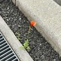 アスファルトから咲く花 ~踏まれそうでも懸命に生きてる~いつ恋でも写メしてた