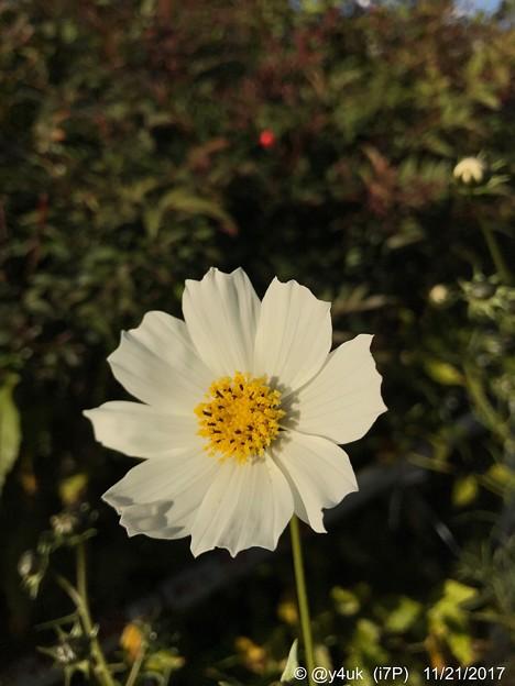 White Xmas Cosmos ~iPhoneてF1.8単焦点レンズ