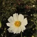 写真: White Xmas Cosmos ~iPhoneてF1.8単焦点レンズ