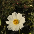 Photos: White Xmas Cosmos ~iPhoneてF1.8単焦点レンズ
