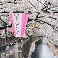 写真: 目?川櫻花
