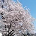 Photos: full bloom