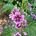 散歩道の花