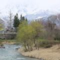 写真: 雪山に桜