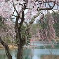 写真: 鳥居と桜