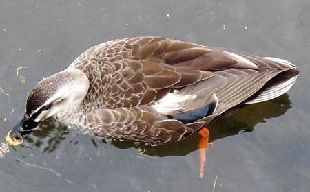 鴨 (3)