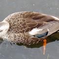 写真: 鴨 (3)