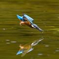 幼鳥の飛び込み-3