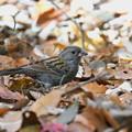 クロジくん 落ち葉の中で採餌中-2