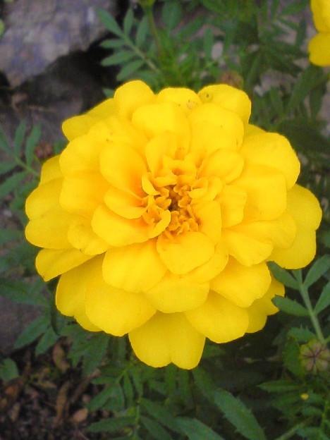 090930_marigold003