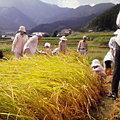 稲刈り・稲木干し体験(2009.9.13、東温市河之内地区、なもし開縁隊)