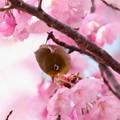 写真: 桜メジロ(3)FK3A8547