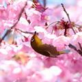 写真: 桜メジロ(4)FK3A8575
