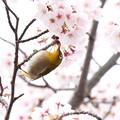 写真: 桜メジロ(2)FK3A8858