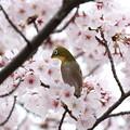 写真: 桜メジロ(3)FK3A8923