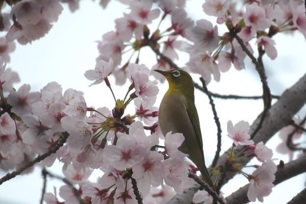 写真: 桜メジロ(4)IMG_1925 by ふううさん