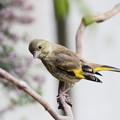 Photos: カワラヒワ幼鳥(1)FK3A0269