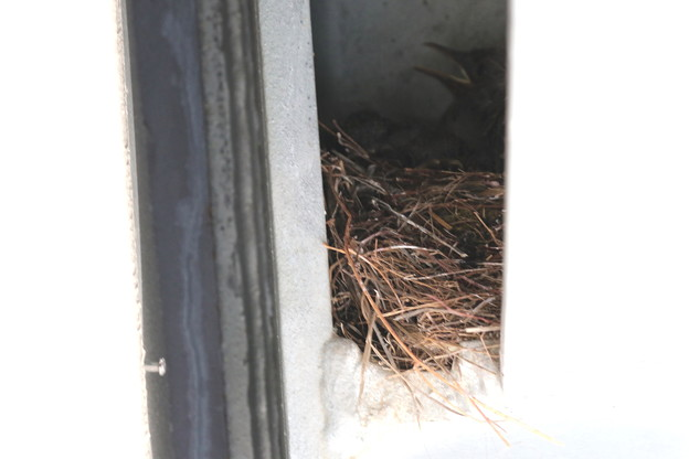 イソヒヨドリ(4)巣の中の幼鳥 FK3A1233