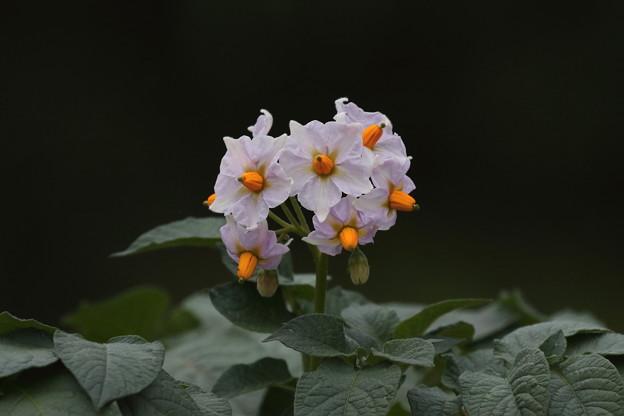ジャガイモの花 FK3A1283