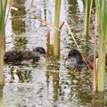 バン(1)幼鳥 FK3A2397