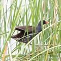 バン(3)親鳥 FK3A2406
