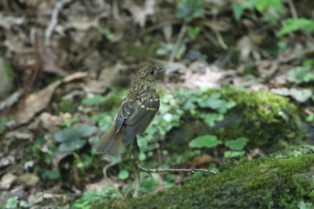 キビタキ(2)幼鳥 044A6618