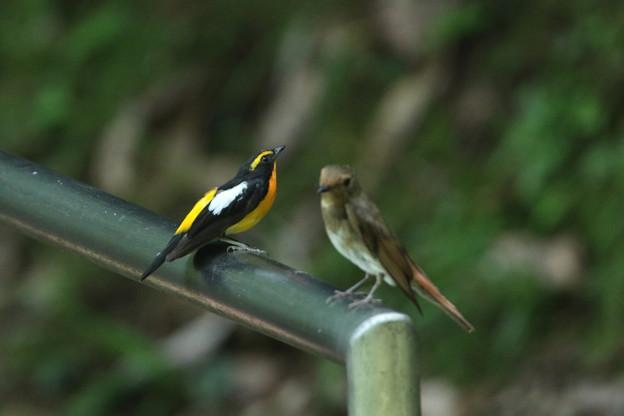 キビタキ(3)親鳥♂♀ 044A6744