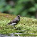 オオルリ(2)幼鳥 044A8244