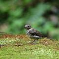 オオルリ(1)幼鳥 044A8235