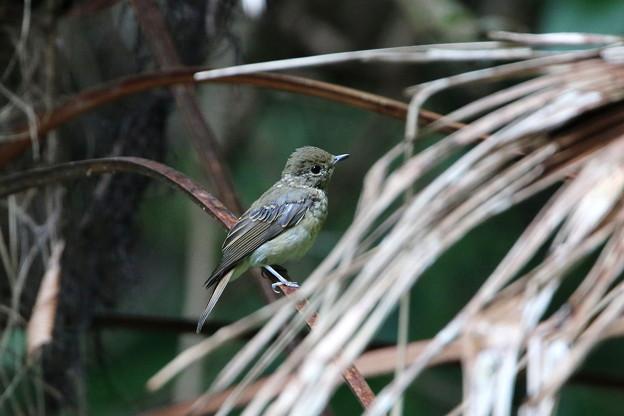 キビタキ幼鳥(4)044A8545