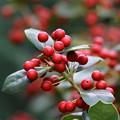 写真: クリスマスホーリー FK3A8197