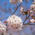 美しい桜の花