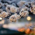 写真: 祇園の夜桜