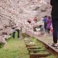 写真: 蹴上鐵道櫻花