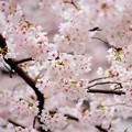 写真: 桜が満開だ