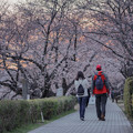 写真: 八幡市桜堤桜花