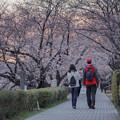 八幡市桜堤桜花
