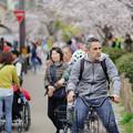 写真: 自転車に乗って桜に与えます