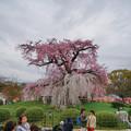 Photos: 円山公園垂櫻