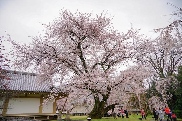 Photos: ダンスをする桜の木