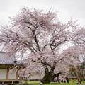 写真: ダンスをする桜の木