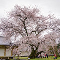 ダンスをする桜の木
