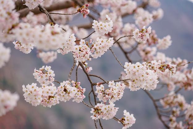 嵐山中之島櫻花