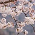 写真: 嵐山中之島櫻花