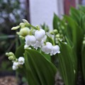 庭に咲く白い小花:スズラン