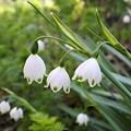 庭に咲く白い小花:スノーフレーク