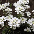 庭に咲く白い小花:イベリス