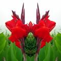 カンナの花-01